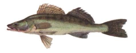 http://ribak.com.ua/img/fish/sudak.jpg